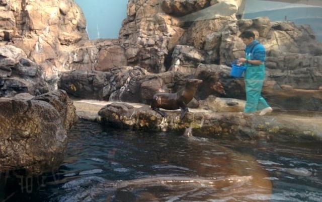 Anjing Laut di Osaka Aquarium KAIYUKAN